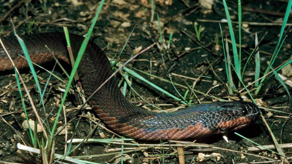 Biss mit verheerender Wirkung: Eine Braunschlange hat in Australien ein Mädchen zu Tode gebissen. (Symbolbild)