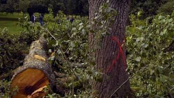 Dieser Birnbaum in Waldkirch SG wurde wegen Feuerbrandgefahr zwangsgerodet (Archivbild).