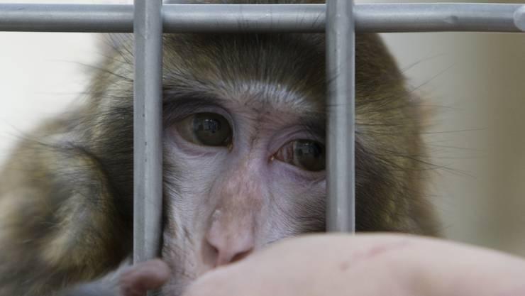 Die ETH und die Universität Zürich möchten gerne wieder Versuche mit Affen durchführen. (Symbolbild)