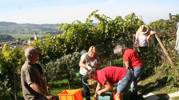 Reiche Ernte: Bei der Weinlese kann Hans Barmet auf zahlreiche Helferinnen und Helfer zählen. Fotos: Peter Weingartner