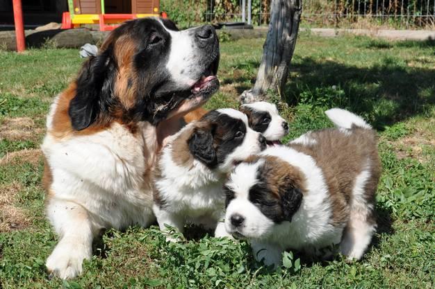 Ab dem 11. August können die Hunde auf dem Grossen Sankt Bernhard besucht werden.