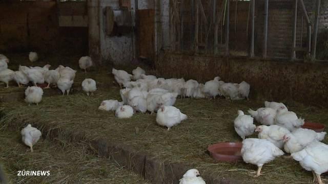 Ausgesetzte Hühner sollen geschlachtet werden