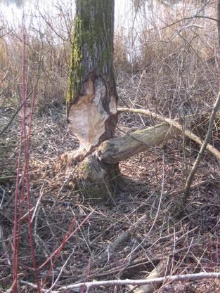 Der Biber, der sich diesen Baum vorgenommen hat, muss wohl noch etwas dazulernen
