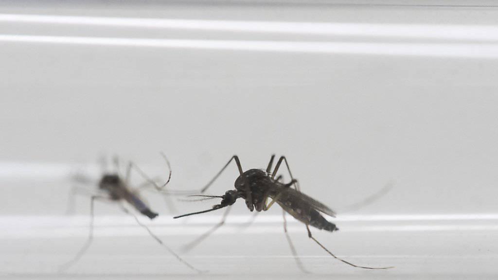 Diese Mücken übertragen das Zika-Virus. Die Organisatoren sehen die Olympischen Spiele in Rio wegen des Virus nicht gefährdet. (Archiv)