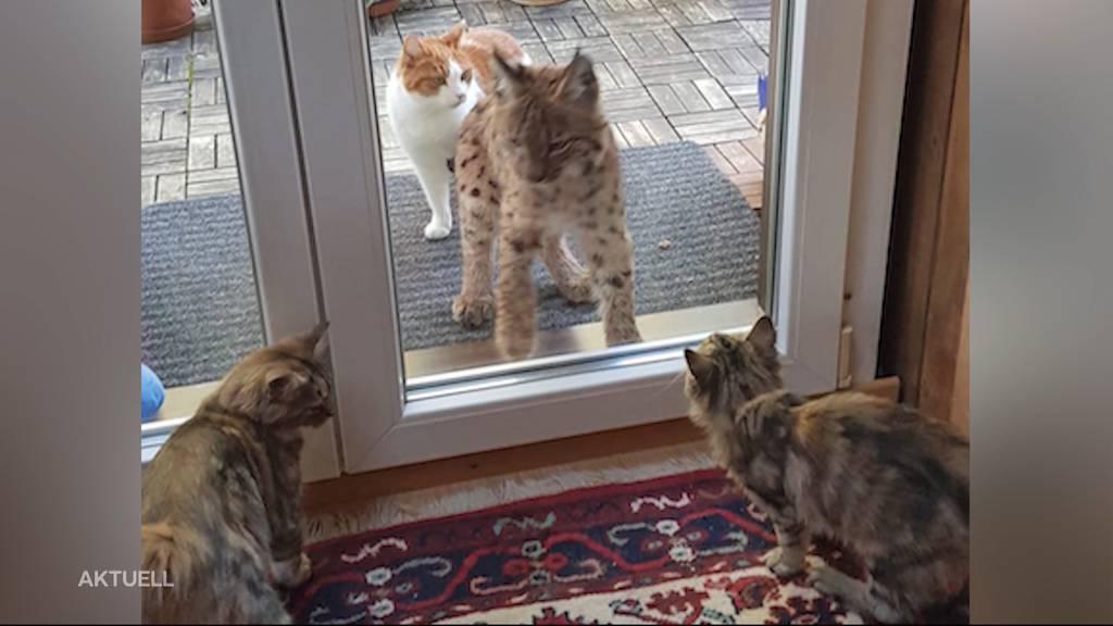 Seltene Begegnung: Luchs beobachtet junge Kätzchen in der Stube