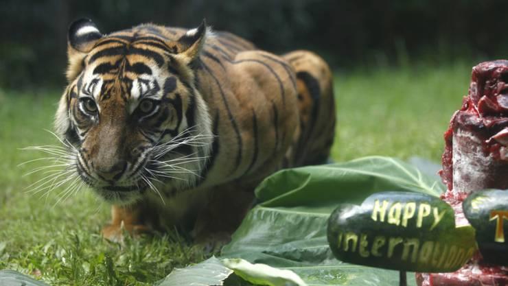 Sumatra-Tigerin im Zoo von Bali. In freier Wildbahn ist ihre Art schon beinahe ausgestorben. Gerade wieder ist eine Artgenossin in einer Falle umgekommen. (Archivbild)