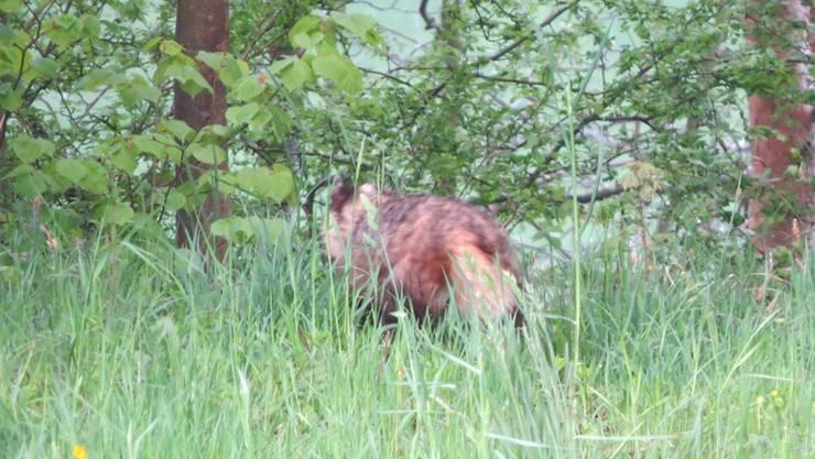 Nur von hinten und nicht ganz scharf – dennoch lässt sich das Pelztier auf dem Bild eindeutig als Marderhund bestimmen.