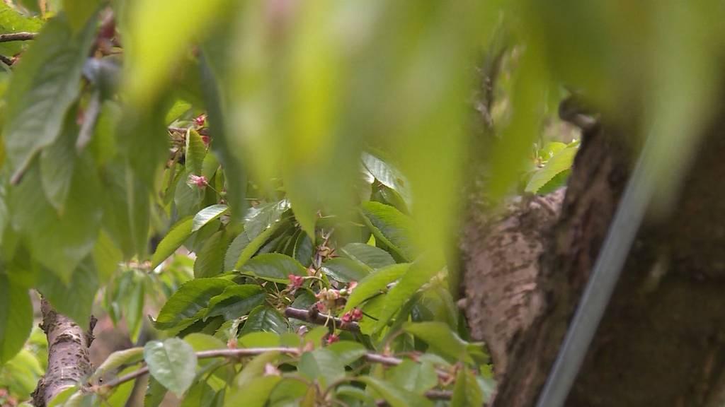 Mai-Frost bereitet Bauern Sorgen