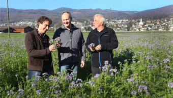 Rainer Hug, Lorenz Kissling und Bernhard Strässle im Phacelia-Feld, welches das Nitrat über den Winter speichern soll, damit es nicht ins Grundwasser absickert.