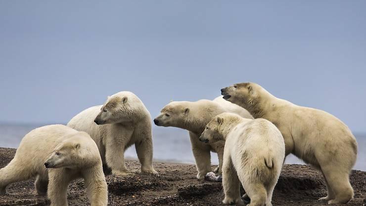Mit dem Schwinden des Packeises suchen Eisbären vermehrt an Land nach Nahrung. (Archivbild)