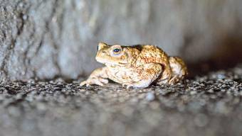 Die Erdkröten überwintern in Laubhaufen, Baumwurzeln oder feuchten Erdlöchern.
