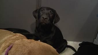 Der zehn Wochen alte Labrador-Welpe Neila soll später mal Sehbehinderten helfen.