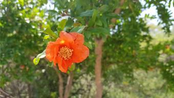 In Südeuropa (hier: Albanien) standen die Granaten schon vor zwei Wochen in voller Blüte.