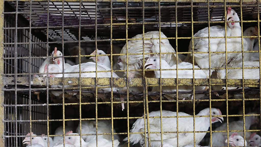 China will Verkauf von lebendem Geflügel auf Märkten verbieten