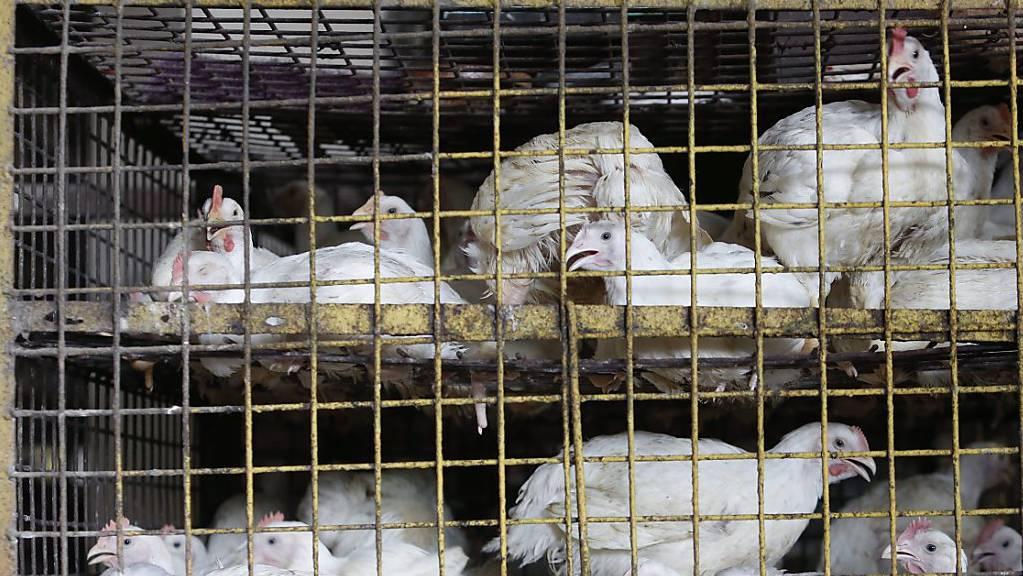 In China soll der Verkauf von lebendem Geflügel schrittweise verboten werden. (Archivbild)