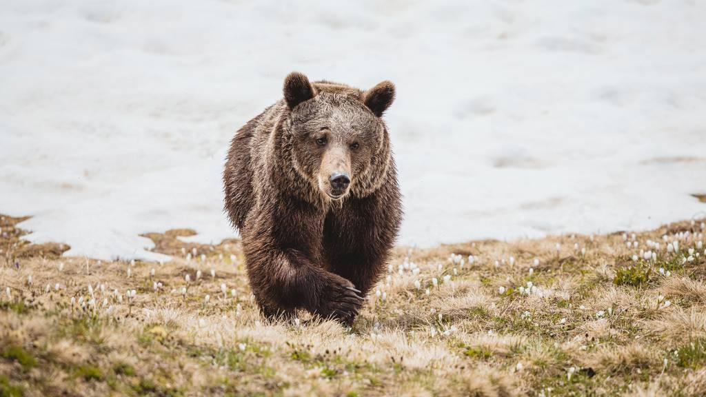 «Werden Jambolina nie vergessen» – Rückblick auf ein bewegtes Bärenleben