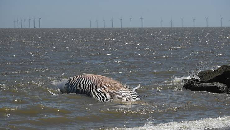 Ein etwa 12 Meter langer, toter Wal wurde an den Strand gespült. Foto: Joe Giddens/PA Wire/dpa