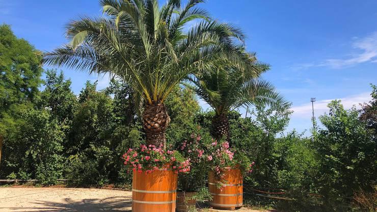 Die drei Riesenpalmen verbringen den Sommer draussen.