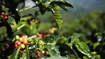 Der Bund will auch die Überreste der Kaffeebohnen zur Nutzung in der Schweiz zulassen: Schalen und Fruchtfleisch von Coffea arabica.