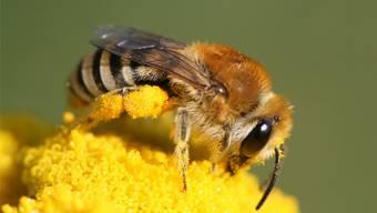Auch wenn die Bienen dieses Jahr fleissig waren, geht die Honigernte 2016 wegen des Wetters als eines der schlechtesten Ertragsjahre in die Statistik ein. zvg