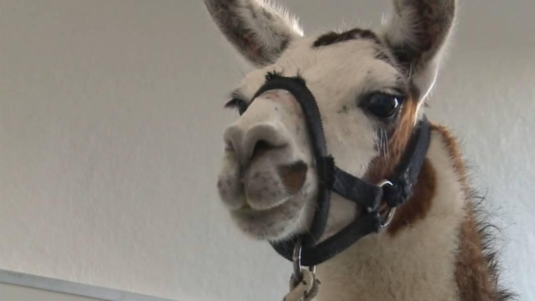 Besitzerloses Lama gehört Circus Royal