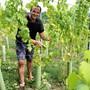 Die ersten Riesling-Silvaner-Trauben können geerntet werden.