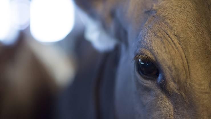 Der Fall einer Kuh hat für einiges Aufsehen gesorgt. (Symbolbild)