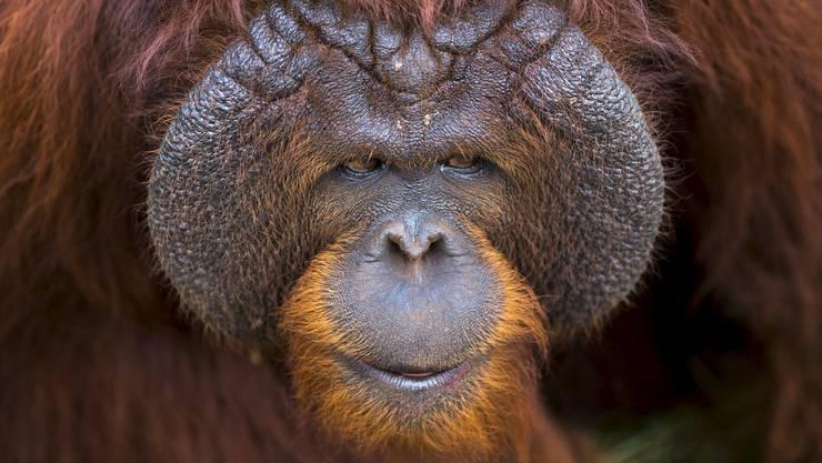 Warten auf Heimkehr: Dieser Orang-Utan harrt im Kao-Pratubchang-Center in Thailand auf die Repatriierung nach Indonesien. Dort soll er helfen, den Bestand zu erhalten