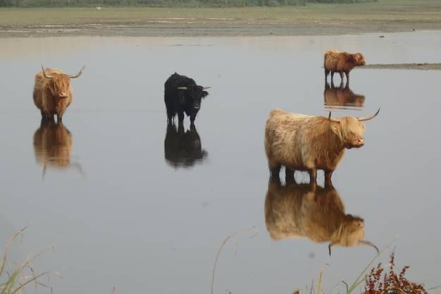 Doppelrinder im Dünensee (Holland)