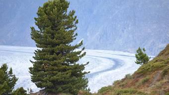 Die Arve, wie hier oberhalb des Aletschgletschers, könnte in tieferen Lagen lokal aussterben.