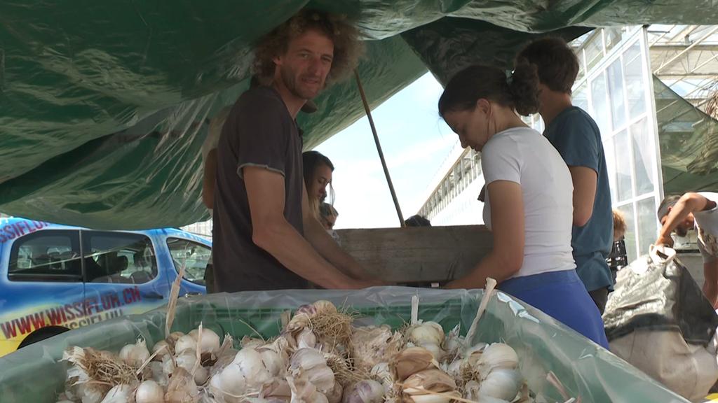 Fleissige Hände verarbeiten in Wolhusen vier Tonnen Chnobli