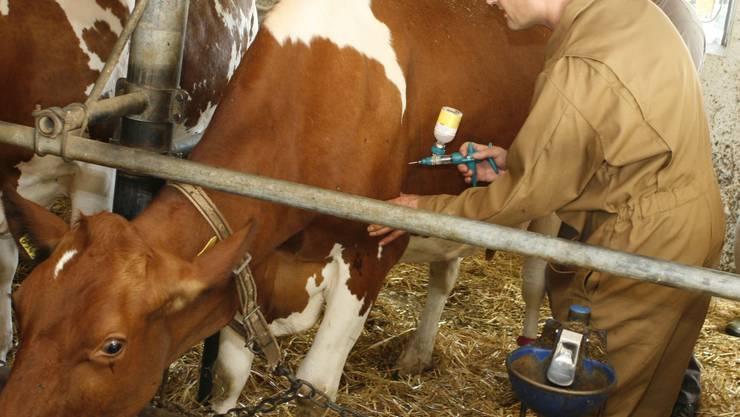 Impfzwang: Alles Rindvieh muss gegen die Blauzungenkrankheit geimpft werden. (Raphael Hünerfauth)