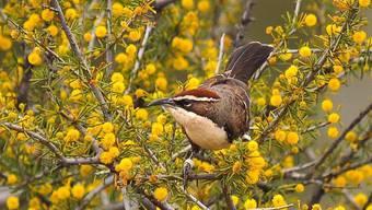 Der Rotscheitelsäbler (Pomatostomus ruficeps) lebt in sozialen Gruppen im australischen Outback.