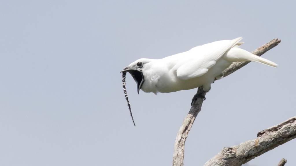 Der lauteste Vogel der Welt ruft aus Liebe