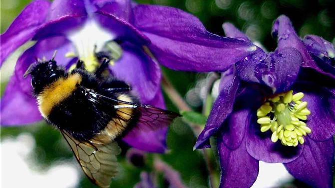 Wenn es für die Bienen noch zu kalt ist, können die Hummeln bei der Bestäubung helfen. Archiv/ZVG