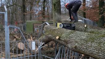 """""""Wo ist der sechste Wolf?"""" fragt sich das Team des Berner Tierparks Dählhölzli seit der Sturm """"Burglind"""" das Wolfsgehege beschädigt hat. Der Direktor hält eine Flucht für """"extrem unwahrscheinlich""""."""