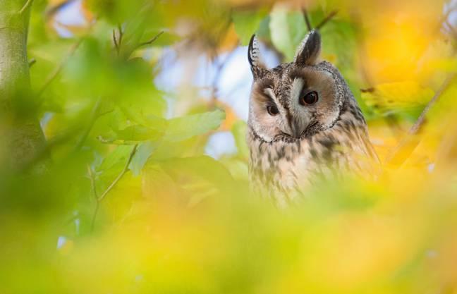 Flurin Leugger gewann mit dem Foto der Waldohreule das Fotowettbewerb 2013 der Schweizerischen Vogelwarte Sempach.