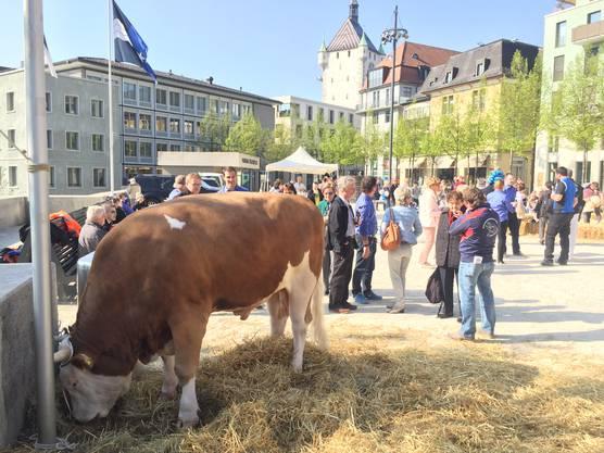 Bruno wurde zum Siegermuni des Aargauer Kantonalschwingfests vom 7. Mai in Brugg (AKS) erkoren.