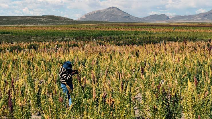 Bauern in Bolivien profitieren derzeit noch vom Anbau des Inkakorns. Das bleibt vielleicht nicht immer so.