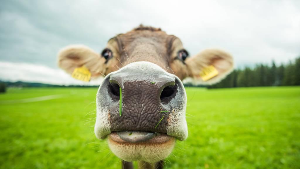 Muhende Kuh löst Notruf aus