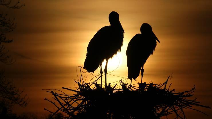 Zwei Störche geniessen den Sonnenuntergang im Horst auf der Platane beim Schulhaus Dorf in Kaiseraugst.