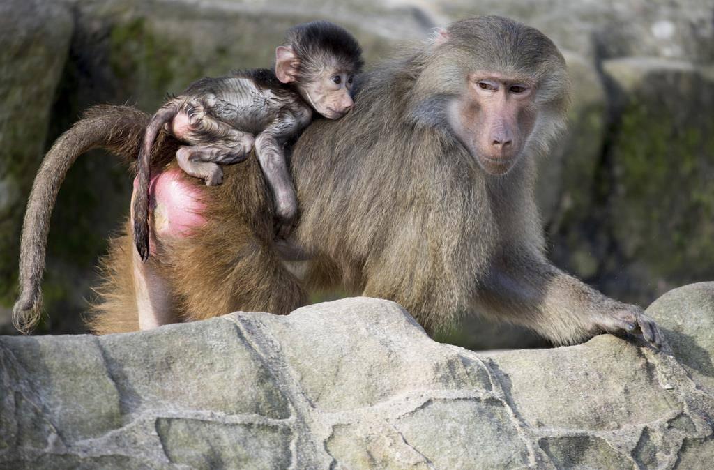 Affen-Baby aus Berlin (© KEYSTONE/EPA/AP)