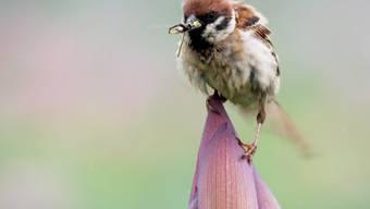 Mehr als 90 Prozent des Rückgangs der Vogel-Population in Nordamerika entfallen auf zwölf Arten, darunter Spatzen. (Symbolbild)