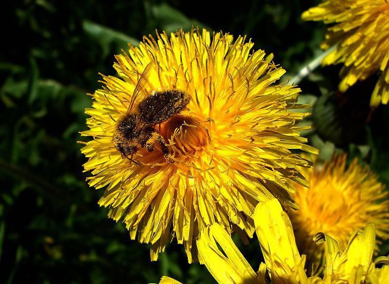 Dieses Bild ist aus besseren Zeiten: Eine Biene im Pollenüberfluss. (© zvg)