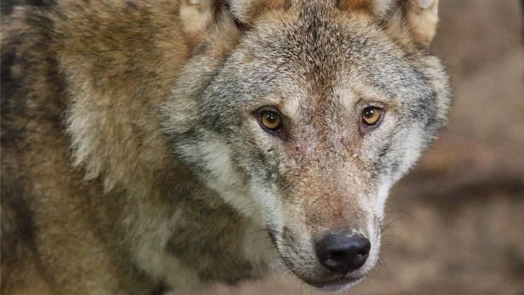 Der Wolf ist nun auch in der Region Zürich unterwegs (Archivbild).