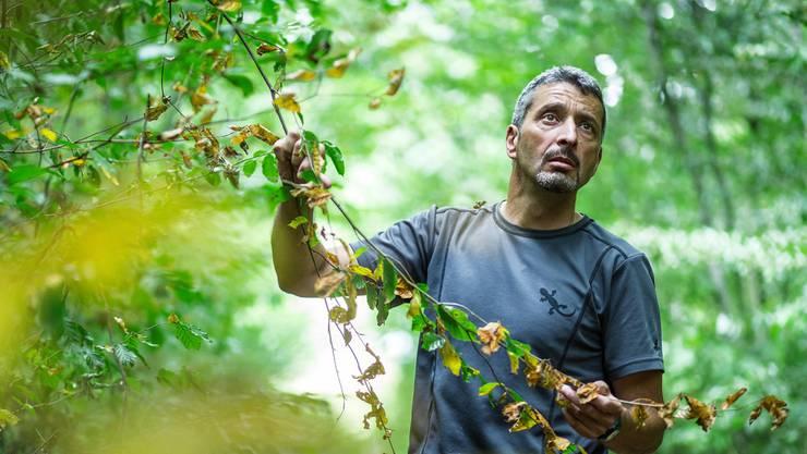 Förster Markus Hossli zeigt im Wald von Würenlingen anhand einer jungen Buche, wie trocken es bereits ist. Chris Iseli