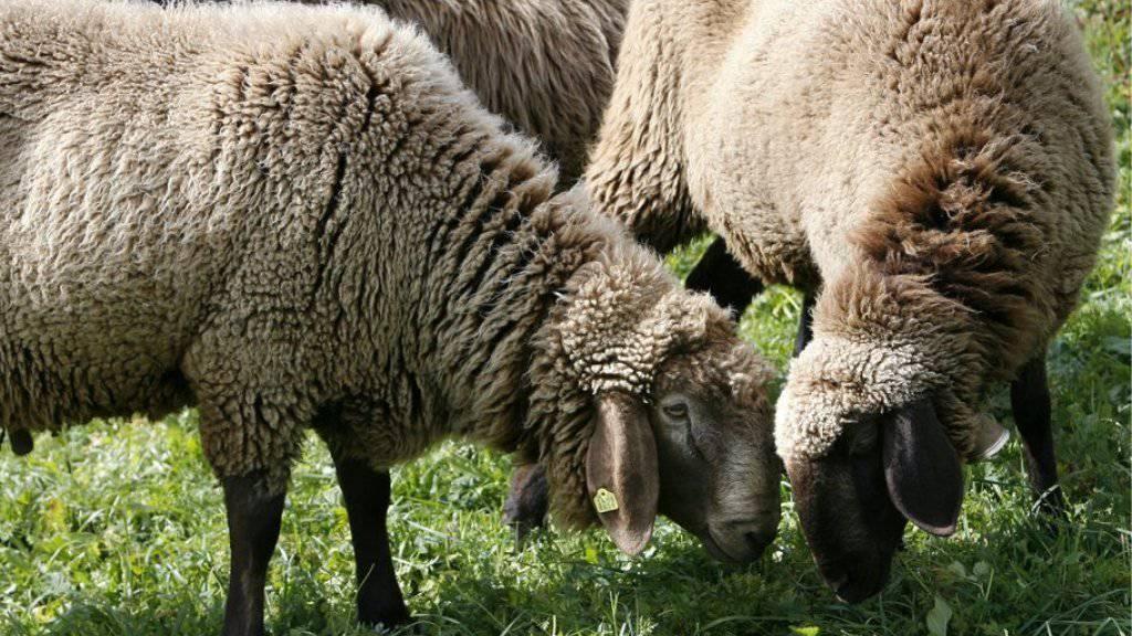 Schafe eigenen sich als Rasenmäher für Grünflächen. Die Stadt Ferrara will sich das zu Nutzen machen. (Symbolbild)