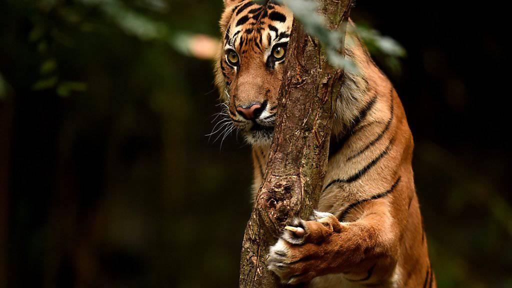 Gehören zu den kleinsten Tigerarten: Sumatra Tiger. (Symbolbild)