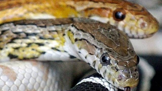 Der Basler Zolli feiert bei seinen Schlangen einen grossen Zuchterfolg (Symbolbild)