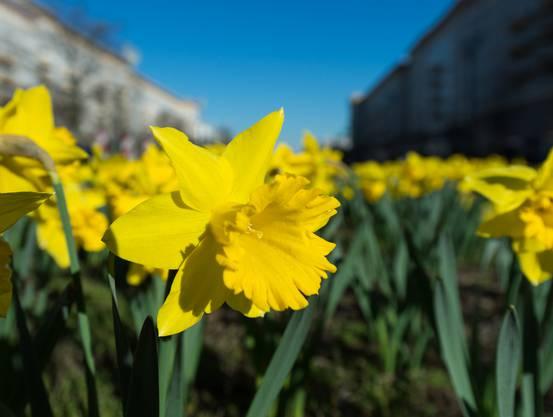 Wieso nennen wir die Gelbe Narzisse auch «Osterglöckchen»? Die Narzisse blüht in der Regel um die Osterzeit, von März bis Ende April. Wegen ihrer trompeten- oder eben glockenförmigen Nebenkrone nennen wir sie deshalb Osterglocke.